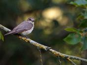 Spotted Flycatchers