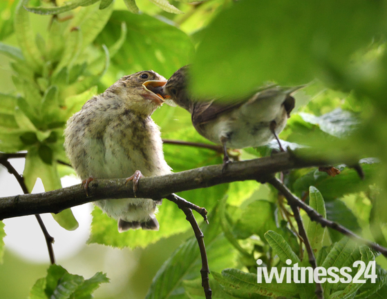 Spotted Flycatcher fledgling