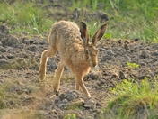 brown hare ; nwt cley marsh.