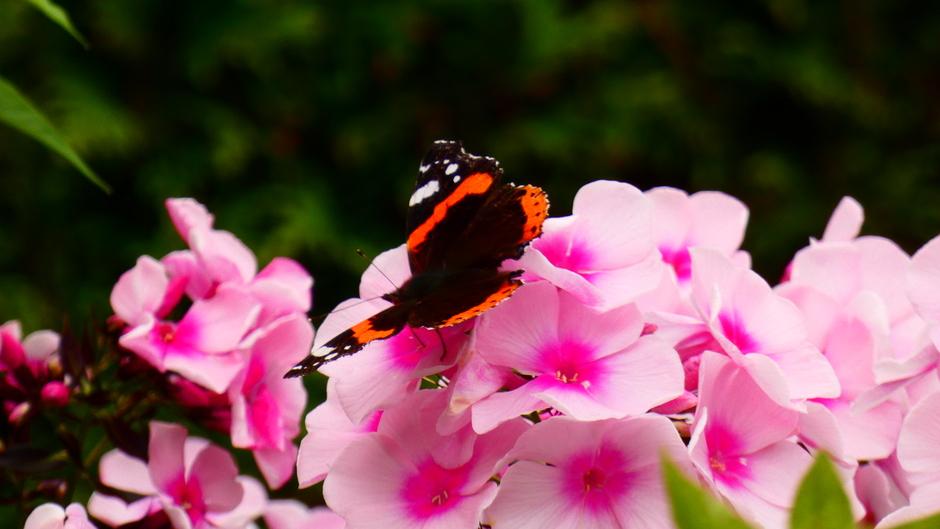 Toch nog bezoek van de atalanta vlinder
