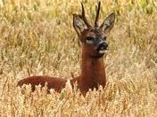 Roe deer buck in the wheat crop.