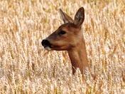 Roe deer hind in the wheat crop.