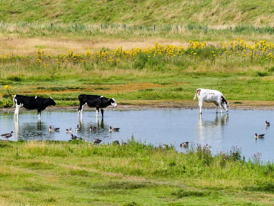 Broeierig warm pootje badende koeien