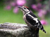Juvenile Gt.Spotted Woodpecker on the bird bath.