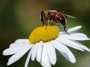 Bee on the daisy.