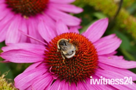 BEE ON A ECHINACEA BLOOM AT PENSTHORPE