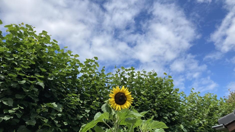 Zon en zonnebloem komen tevoorschijn