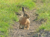 brown hre ; nwt cley marsh.