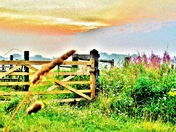 Willow Herb at Sunrise
