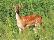 Fallow deer in the field enjoying the evening sun