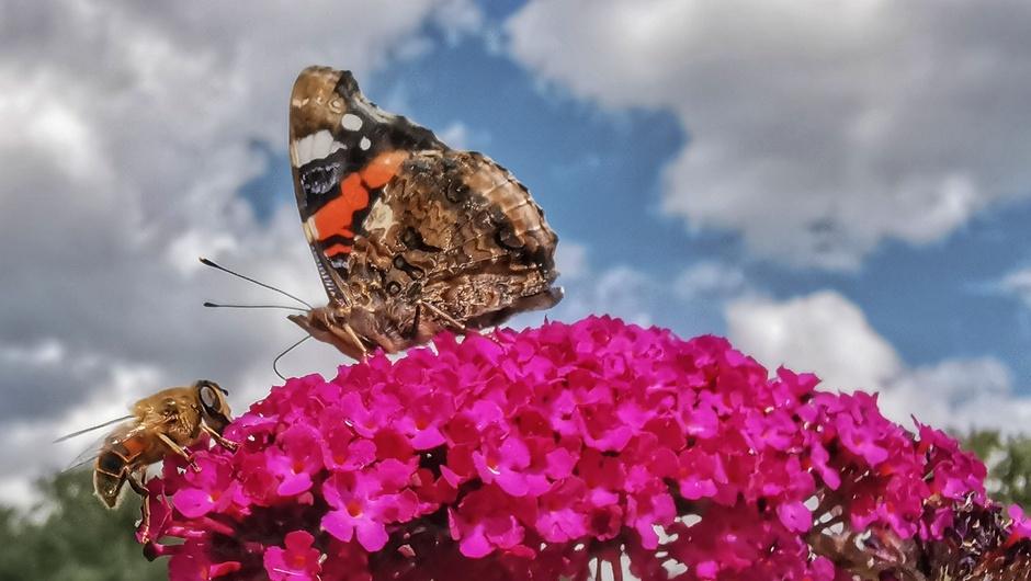 Druk in de vlinderstruik