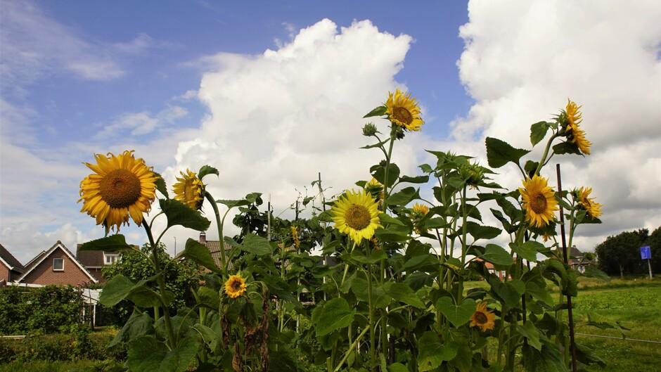 12.18 uur zon blauw stapelwolken 19gr zonnebloemen