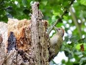 Juvenile green Woodpecker at walpole cross keys