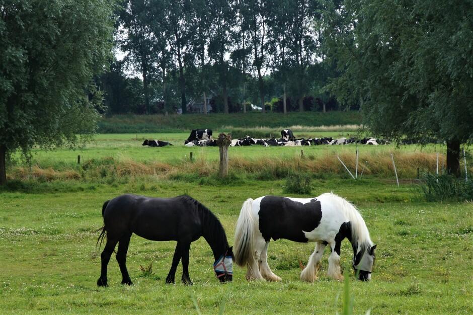 Paarden en koeien