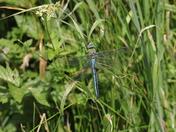 Beautiful Emperor Dragonfly.