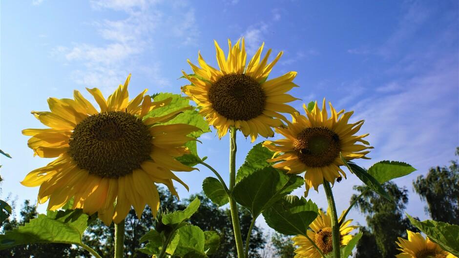 zon blauwe lucht wolkjes 19 gr met zonnebloemen
