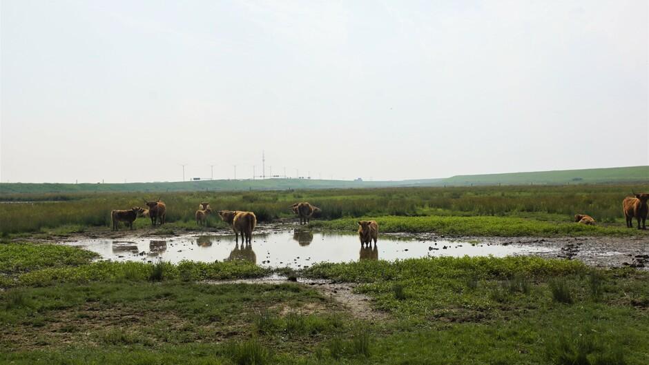 zon blauw wolken broeierig 21 gr koeien doen pootje baden