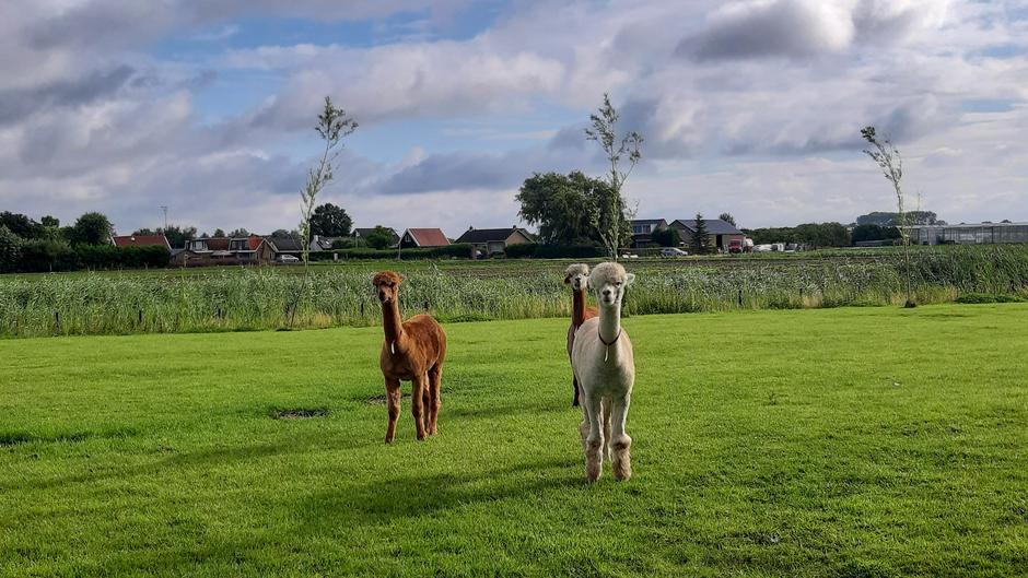 Alpaca's nog lekker even genieten in de wei