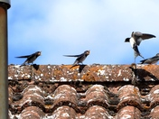 Swallows on the roof wanting to be fed.