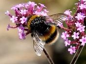 Bee collecting pollen from Valerian flowers.