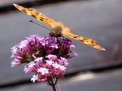 Comma Butterfly..