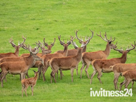 WILD RED DEER on Exmoor today.