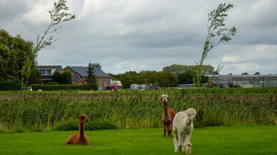 Alpaca's  genieten in de wei