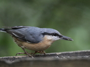 nuthatch at sculthorpe moore