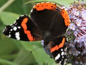 Parade of red admirals