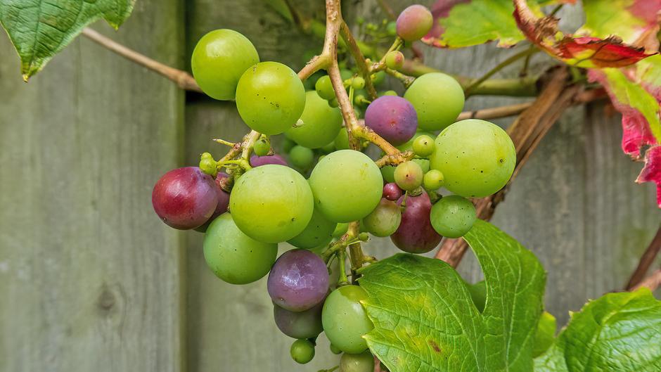 Rijpende druiven