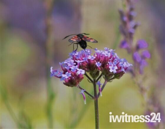 6 spotted-burnet moth