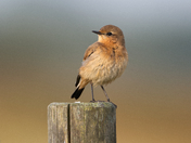 """Northern Wheatear, juvenile """"Drying off"""""""