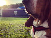 Buddy the basset hound