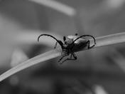 Red-Brown Longhorn Beetle
