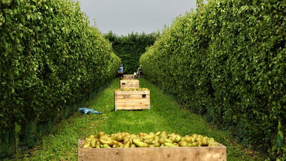 grijs weer iets motregen 19 gr in de perenboomgaard