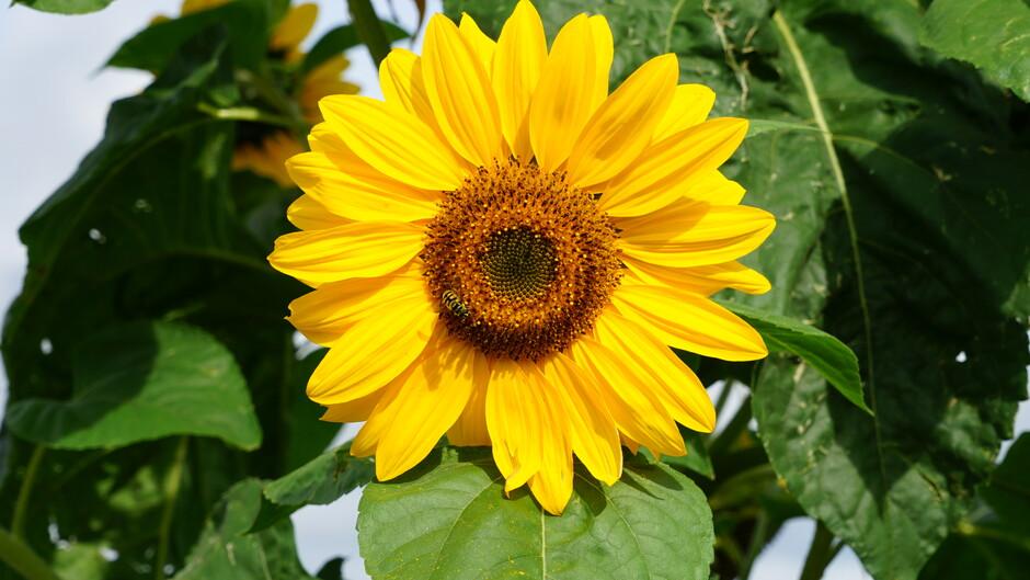 Zonnige zonnebloem