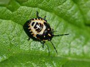 Brassica Shieldbug Nymph