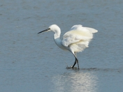 little egret ; nwt cley marsh,.