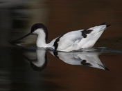 beautiful reflection of the Avocet