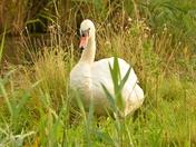 swan ; nwt cley marsh.