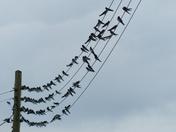 SWALLOWS READY TO FLY BACK HOME, AT HEMPTON