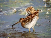 Snipe feeding on the edge of the river
