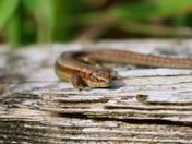Sunbathing lizards at Strumpshaw