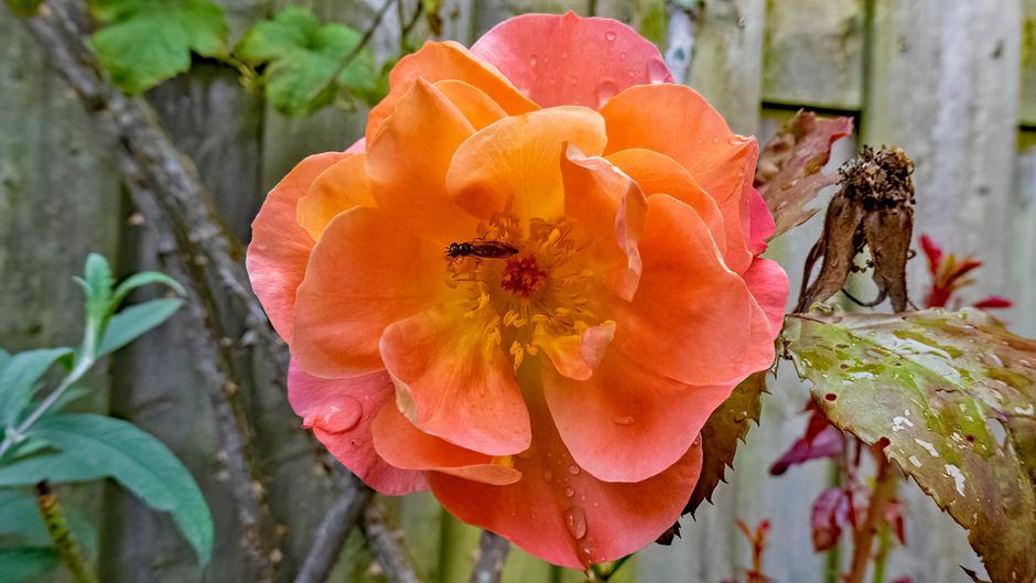 Roos met wespje