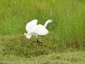 egret preparing to land ; nwt cley marsh.