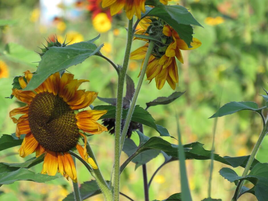 Zonnebloemen op een zonnige dag!