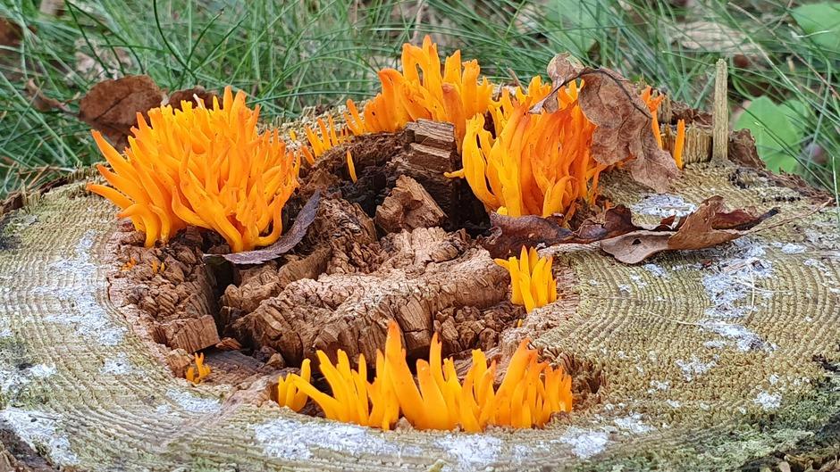 Kleverig koraalzwammetje
