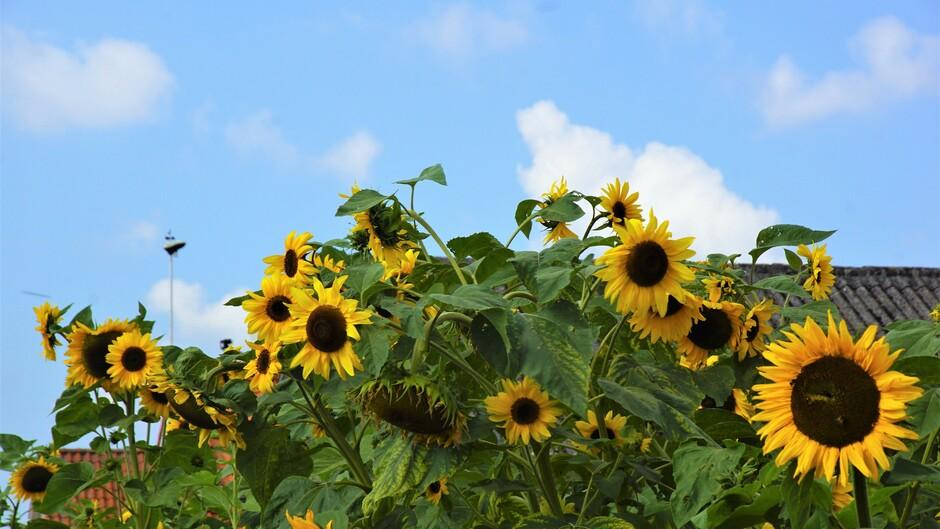 zon blauwe lucht wolken 21 gr zonnebloemen