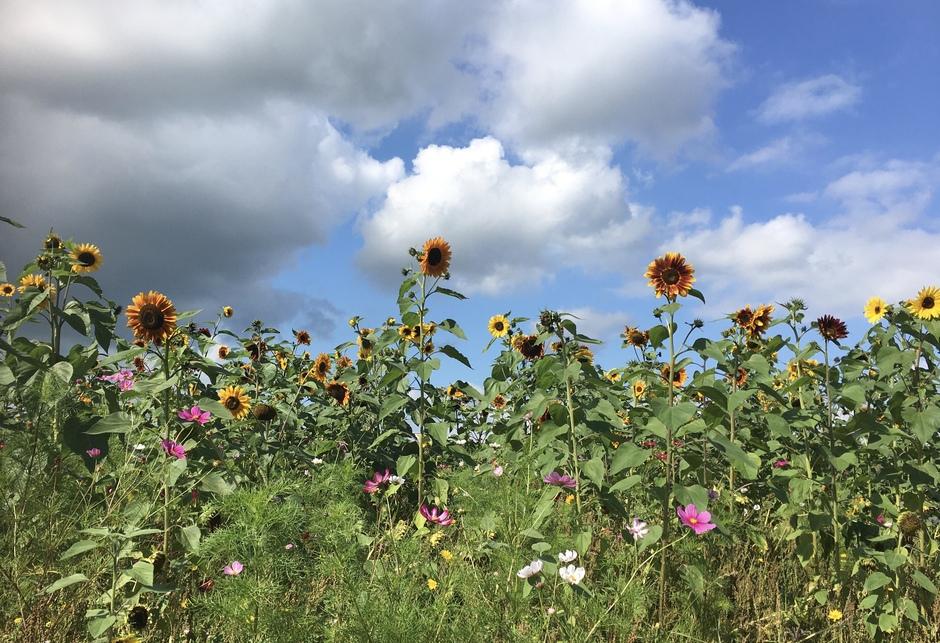 Zonnige zonnebloemen