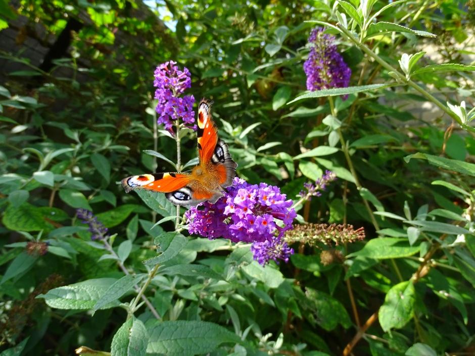 Nog even genieten van de vlinders